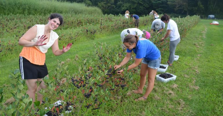 Berry good UConn students pick aronia berries
