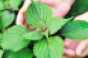shiso-flavor-of-the-week.png
