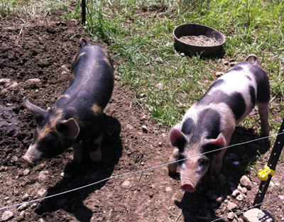 "As of now, the two pigs are not on the menu. They are alternately known as ""Piggly and Wiggly"" or ""Bacon and Sausage."" ""The pigs are meat pigs, but for now, they're just great composters,"" farmer Tobin Porter-Brown says."