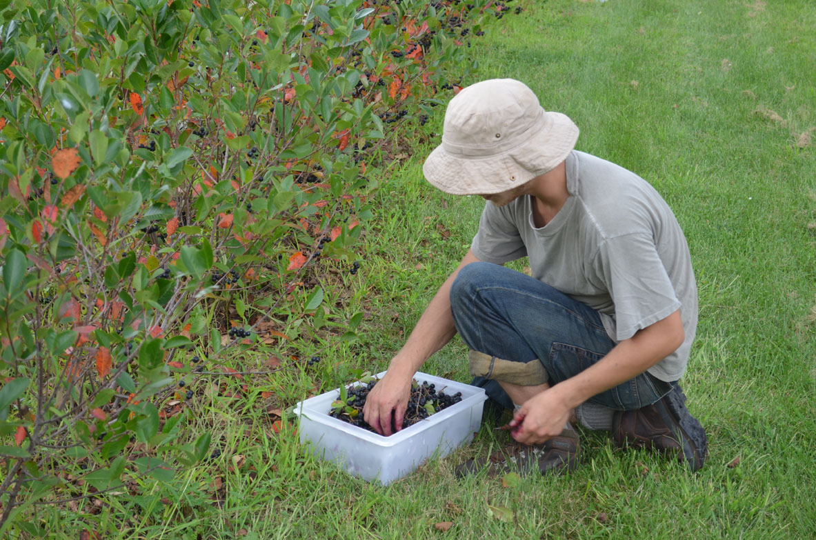 Agriculture is awesome: A UConn student picks aronia berries.