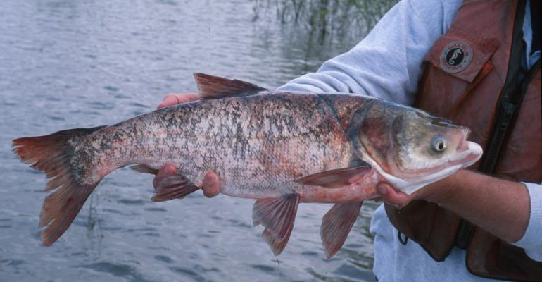 MU Looks to Develop Asian Carp Dishes for Campus Dining